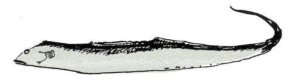 【太刀魚】